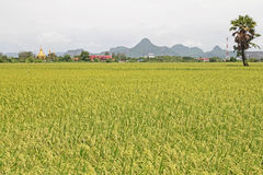 Rice paddies in Thailand Royalty Free Stock Photos