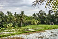 Rice paddies in Ubud, Bali, Indonesia stock photography