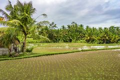 Rice paddies in Ubud, Bali, Indonesia stock images