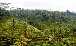 Rice paddies of Ubud Royalty Free Stock Photos