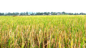 Rice paddies in the village Asia Stock Photography