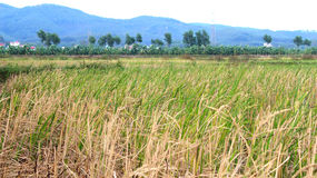Rice paddies in the village Asia Royalty Free Stock Photo