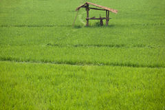 Rice paddy. Stock Photography