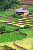 Rice paddy. Green and yellow Rice paddy in Vietnam royalty free stock images