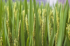 Rice paddy. Green ears of rice paddy royalty free stock photos