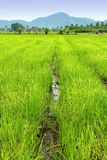 Rice Paddy. Image of rice paddy field with walkway path Royalty Free Stock Photography