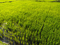 Rice paddy. A green rice paddy waiting for harvesting Royalty Free Stock Images