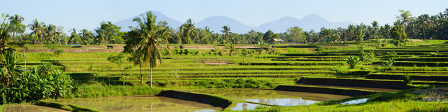 Rice paddy Stock Image