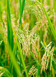 Rice paddy. Ripening rice in a paddy field close up Stock Images