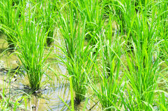 rice paddy Royalty Free Stock Photos
