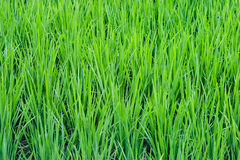 Rice Paddy. 's growing up in the organic farms of Japan stock photography
