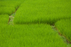 Rice paddy Stock Photos