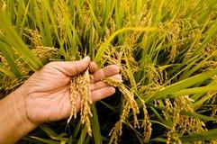 Free Rice Paddy Stock Image - 32868831