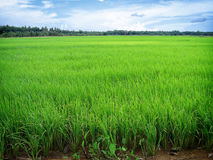Free Rice Paddy Royalty Free Stock Images - 395279