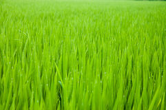 Rice paddy Royalty Free Stock Image