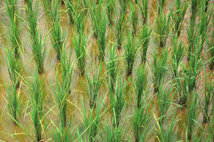 Rice paddy. Transplanted rice in Thailand Stock Photo