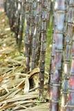 Rice paddy amd sugarcane Stock Image