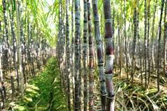 Rice paddy amd sugarcane Royalty Free Stock Photography