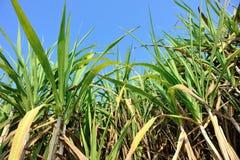 Rice paddy amd sugarcane Stock Images