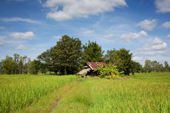 Rice paddy in Asia Royalty Free Stock Photo