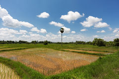 Rice Paddy. Asian agrigulture landscape with blue sky Royalty Free Stock Images