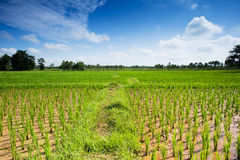 Rice Paddy. Asian agrigulture landscape with blue sky Royalty Free Stock Photos