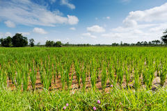 Rice Paddy. Asian agrigulture landscape with blue sky Stock Photography