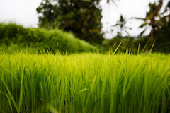 Rice Paddy in Bali Royalty Free Stock Images