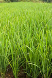 Rice Paddy close up portrait Royalty Free Stock Photo