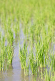 Rice Paddy. Stock Images