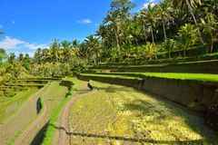 Rice paddy and coconut trees Royalty Free Stock Photo