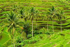 Rice paddy and coconut trees Stock Image