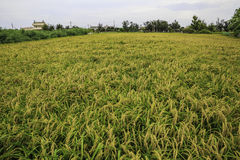 Rice paddy in countryside Stock Photo