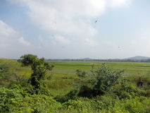Rice paddy with dragonflies. Rice is a staple crop in South India.  The rice paddy featured in the photo comes with dragonflies Stock Photos