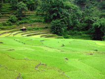 Rice Paddy Farm with a Shed in Nepal Royalty Free Stock Photo