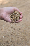 Rice paddy in farmer hand Stock Image
