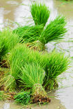 Rice in paddy field. Rice in a paddy field ready to be planted. A paddy field is a flooded parcel of arable land used for growing rice and other semiaquatic stock images