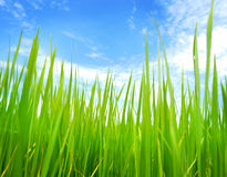 Rice paddy field Royalty Free Stock Photography