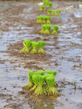 Rice in paddy field Royalty Free Stock Photography