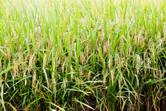 Rice Paddy Field Royalty Free Stock Photos
