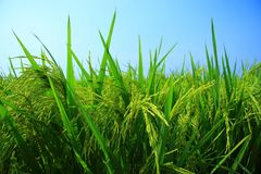Rice Paddy Field. Rice - The staple food of Asian Stock Images