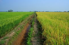 Rice Paddy Field. Rice - The staple food of Asian Royalty Free Stock Photo