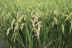 Rice paddy. Field at the albufera. Ecologic way Stock Images