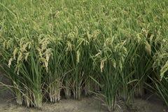 Rice paddy. Field at the albufera. Ecologic way Stock Photo