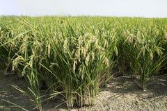 Rice paddy. Field at the albufera. Ecologic way Royalty Free Stock Image