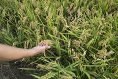 Rice paddy. Field at the albufera. Ecologic way Stock Photos
