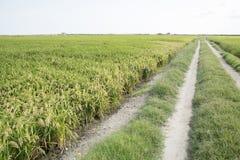 Rice paddy. Field at the albufera. Ecologic way Stock Photography