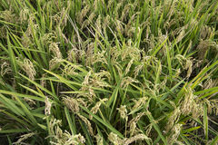 Rice paddy. Field at the albufera. Ecologic way Royalty Free Stock Photography