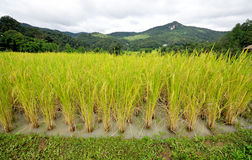 Rice paddy field. Beautiful rice paddy field and mountain Stock Images
