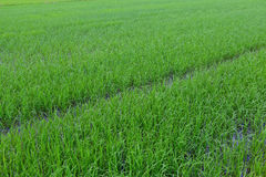 Rice paddy field Stock Photos